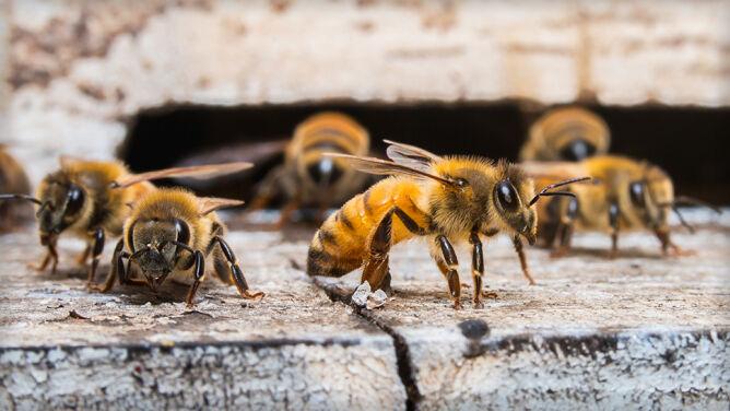 Mordercy pszczół pod lupą naukowców