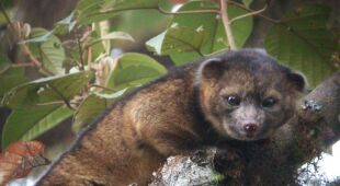 W Andach odkryto nowy gatunek - Olinguito
