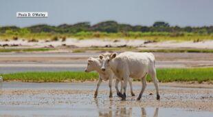 Krowy przeżyły huragan