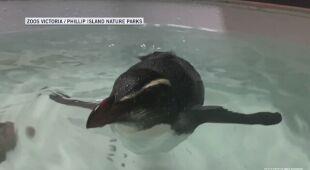 Pingwin przepłynął z Nowej Zelandii do Australii